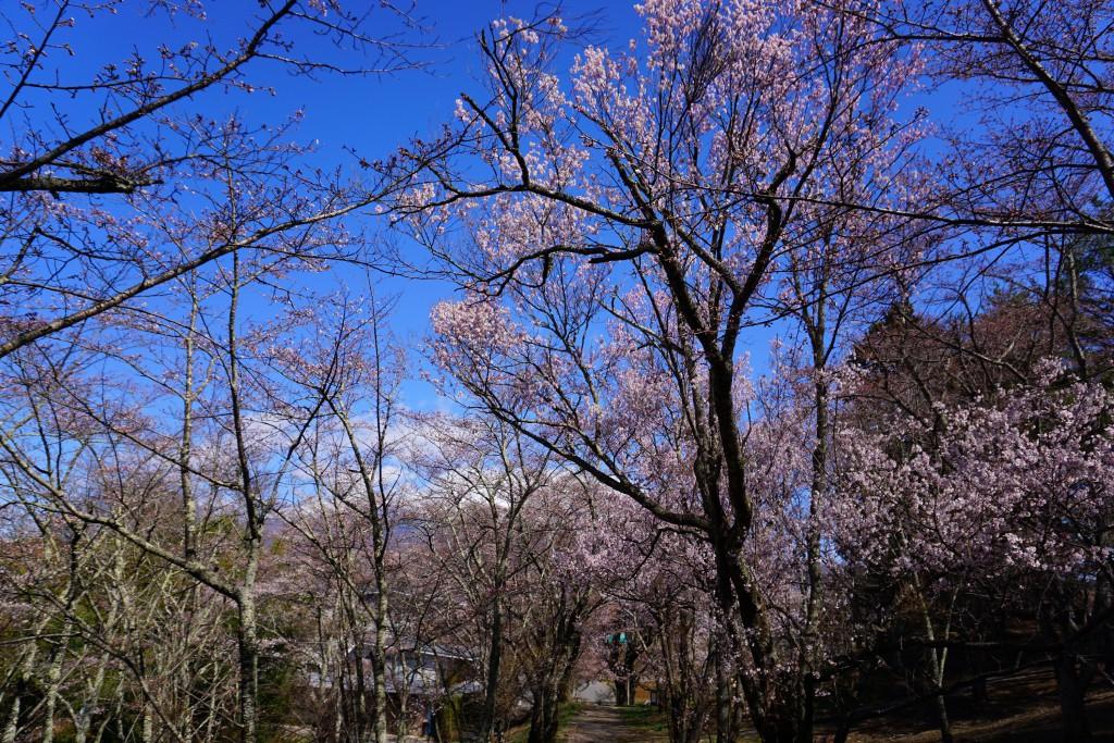 2.2019.4.15 谷戸城址公園の桜