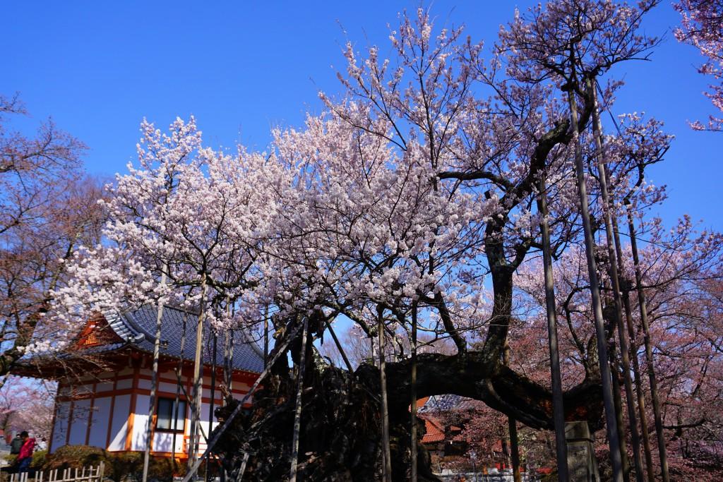3.19.4.2 山高神代桜