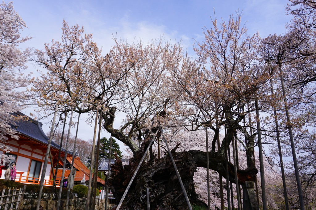 1.2019.04.12 山高神代桜