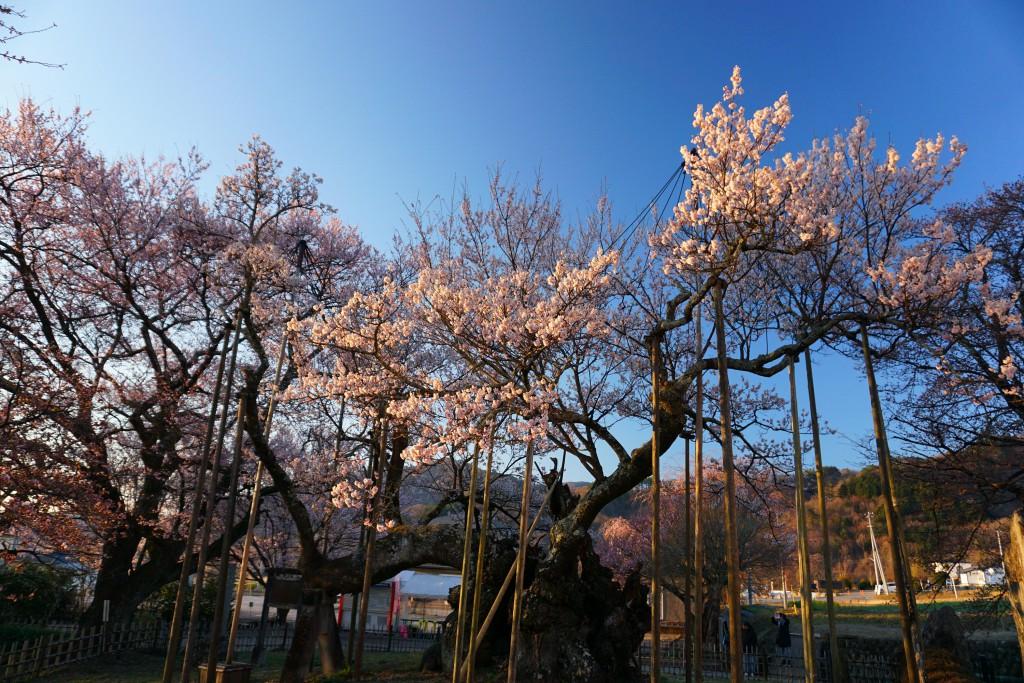 1.2019.4.4 山高神代桜