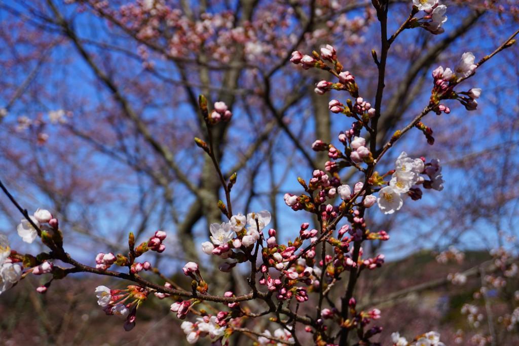 4.2019.4.15 谷戸城址公園の桜