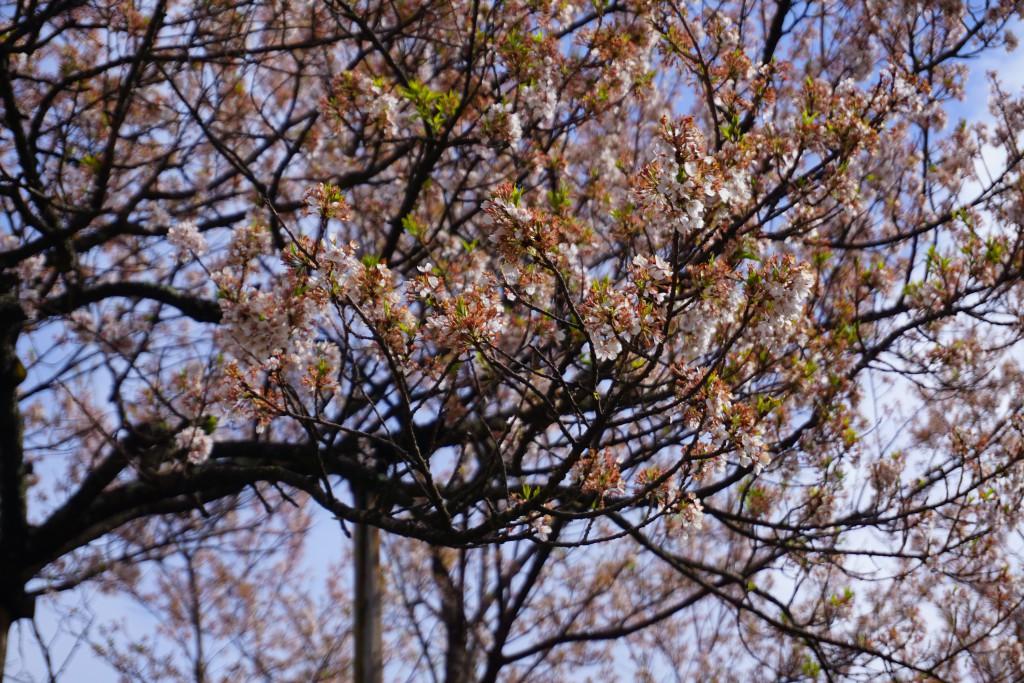 2.2019.04.12 山高神代桜