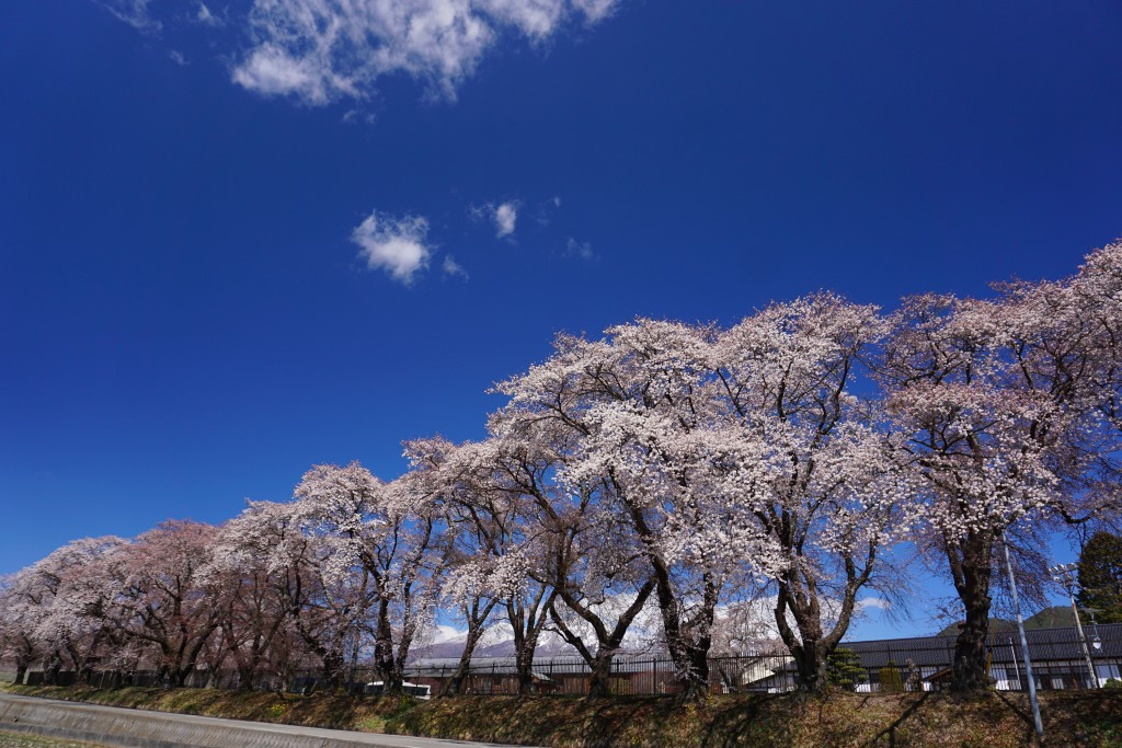 5.2019.4.15 三代校舎ふれあいの里の桜