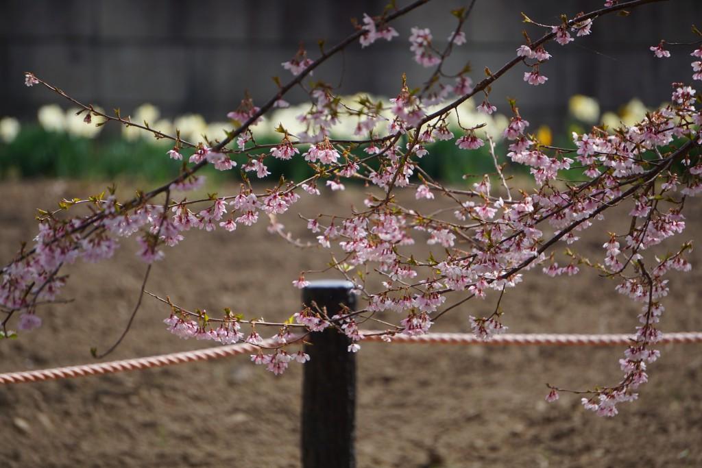 2.2019.04.08 宇宙桜