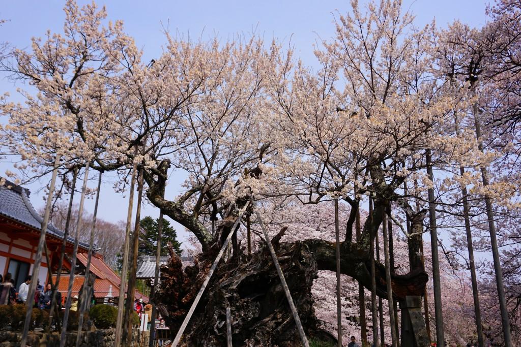 1.2019.04.07 山高神代桜