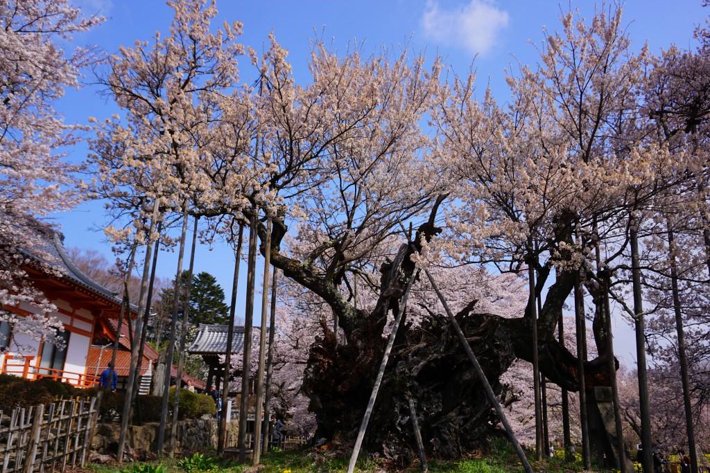 1.2019.04.08 山高神代桜