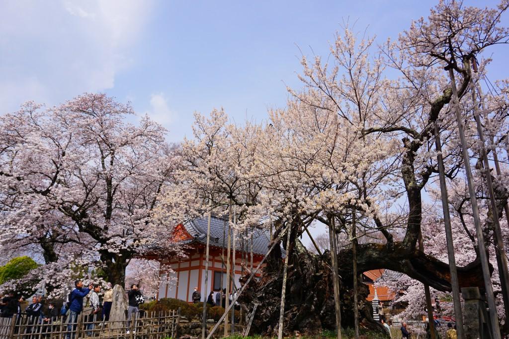 2.2019.04.07 山高神代桜