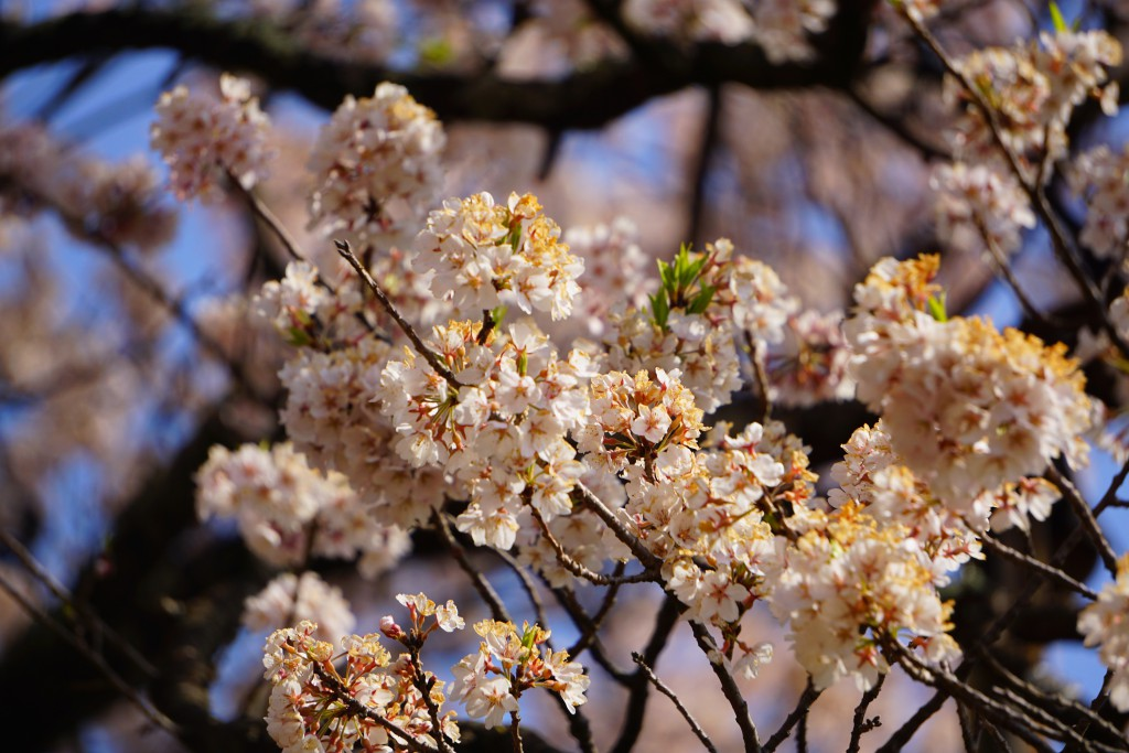 3.2019.04.08 山高神代桜