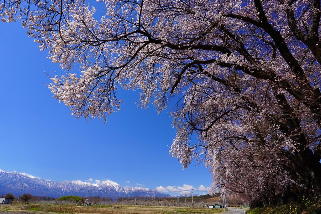 4.2019.4.15 三代校舎ふれあいの里の桜