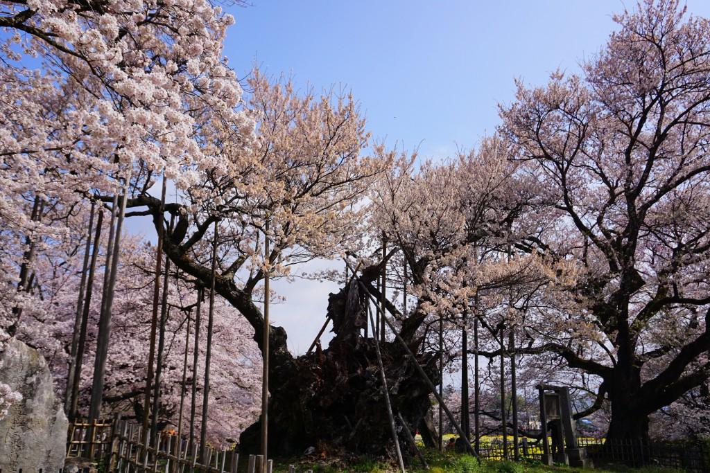 2.2019.04.08 山高神代桜